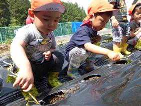 さつま芋の苗植え3