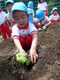 野菜の苗植え2