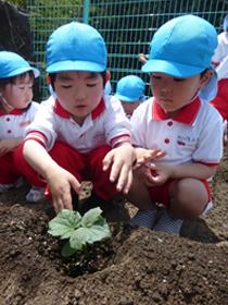 野菜の苗植え4
