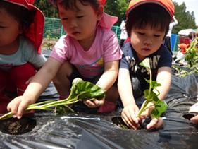 さつま芋の苗植え2
