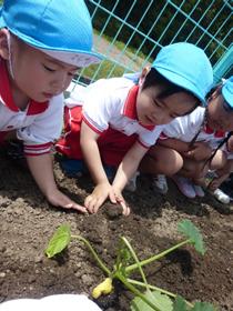 野菜の苗植え1
