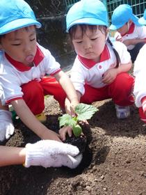 野菜の苗植え3