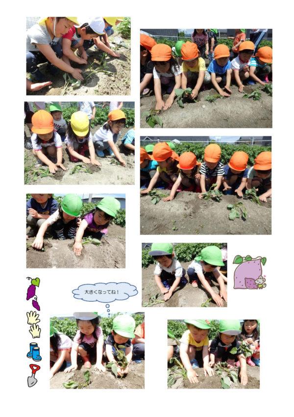 さつま芋の苗植えをしたよ_ページ_2